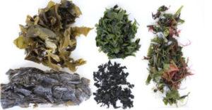 alge morske