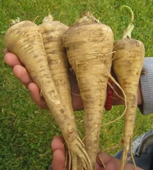 paštrnjak biljka uzgoj u Srbiji