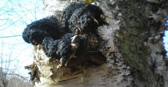 Čaga gljiva sa breze