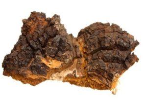 sibirska čaga gljiva