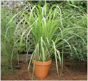 limunova trava izgled biljke