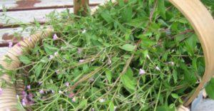 biljka svilovina izgled i rasprostranjenost