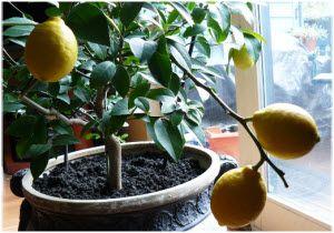 limun u saksiji uzgoj