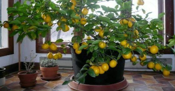 Kako uzgajati limun u saksiji kod kuće
