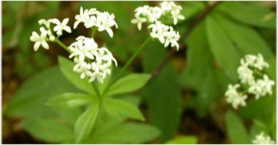 Lazarkinja biljka kao lek za čir na želucu