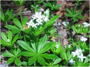 lazarkinja biljka lekovita svojstva