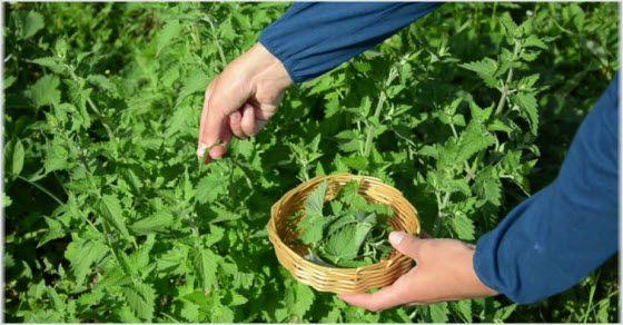 sakupljanje lekovitog bilja iz prirode
