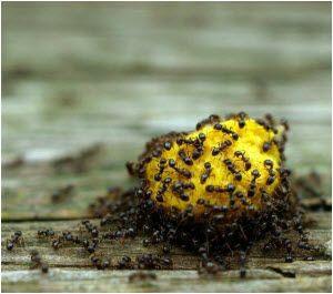 kako se rešiti mrava u velikoj koloniji