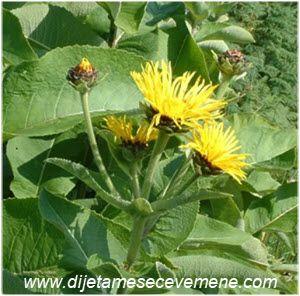 oman biljka upotreba u lekovite svrhe