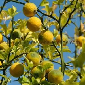 uzgoj sibirskog limuna kod kuće