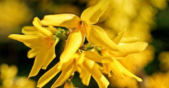 Ivanjsko cveće za štitnu žlezdu kako se koristi