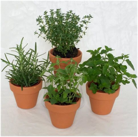 zacinsko bilje saksije za uzgoj