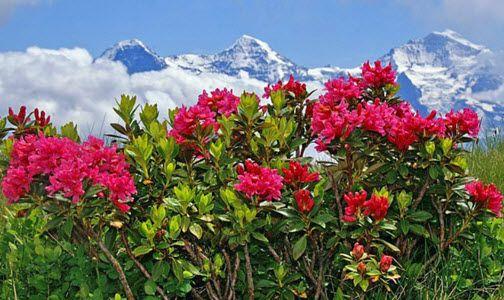alpska ruza izgled biljke